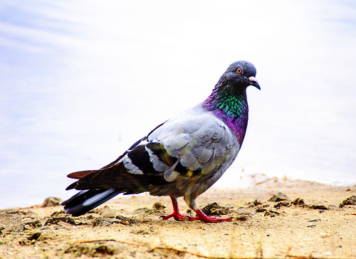 Superstitious Pigeon